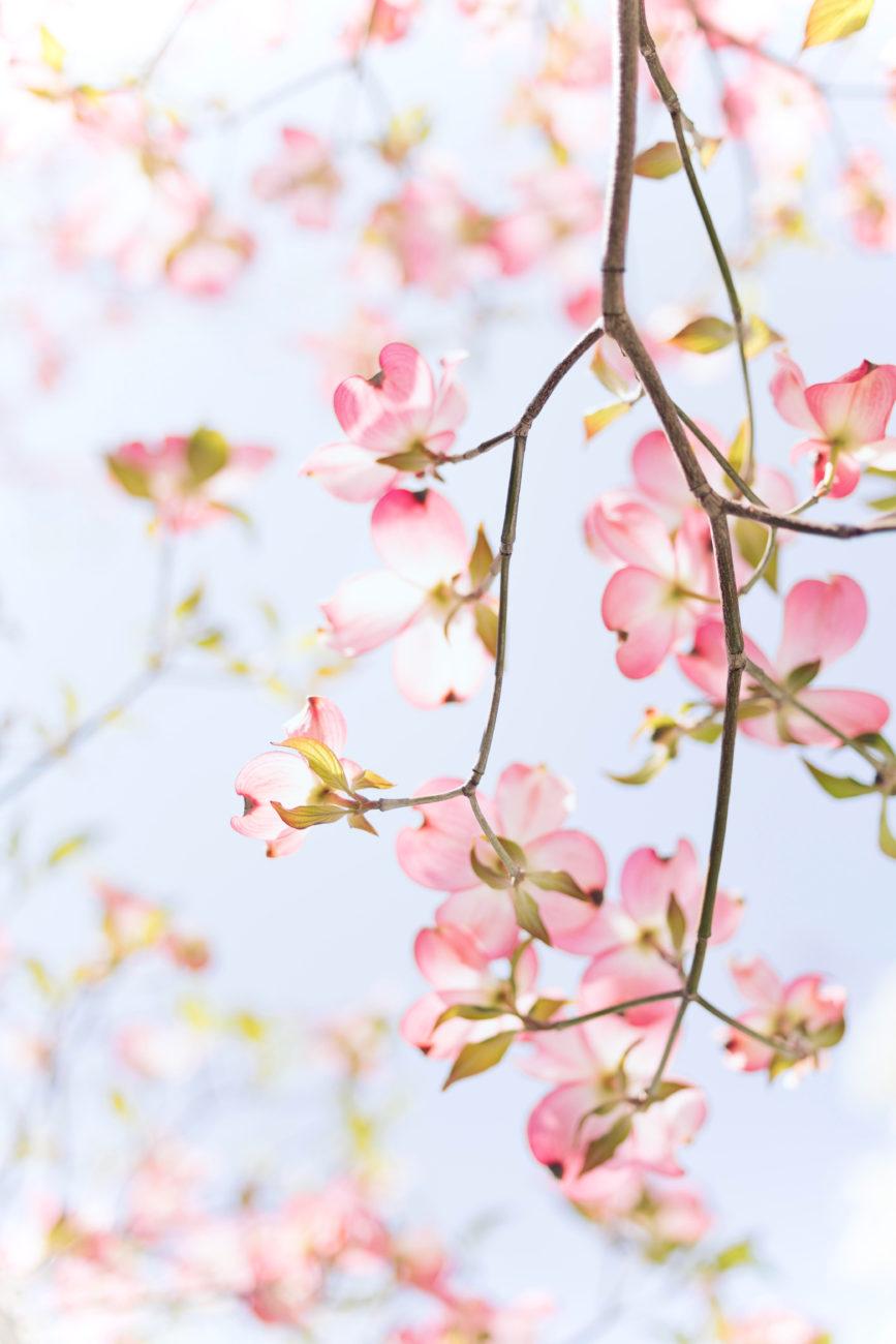 Fotografia ramo di ciliegio